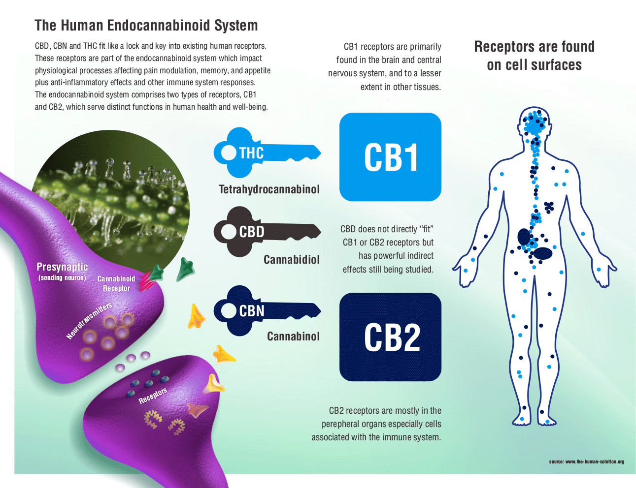 What is the Endocannabinoid System? – Pain is not Prison